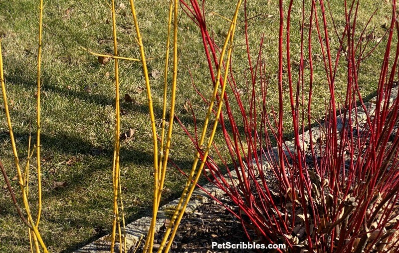 red and yellow twig dogwood stems