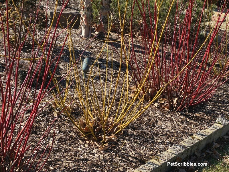red and yellow twig dogwoods in Winter
