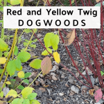 Fall Garden Tour with red and yellow twig dogwoods