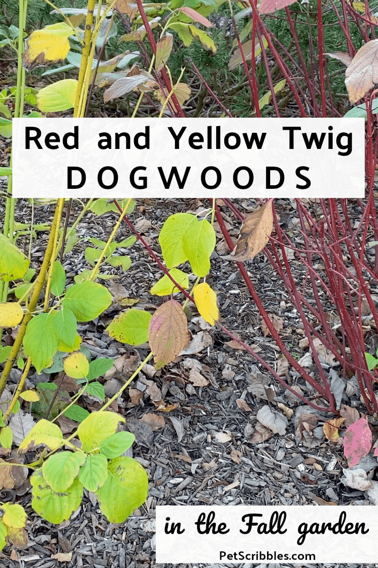 red and yellow twig dogwoods in a Fall garden