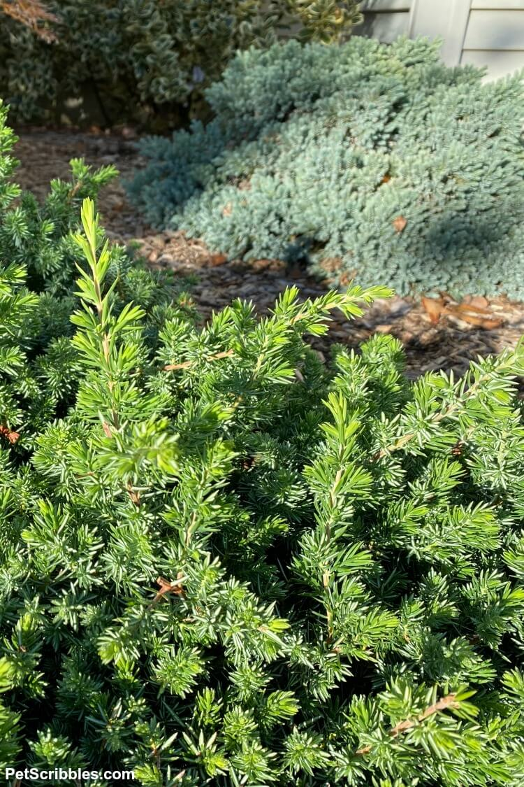 small green juniper shrub next to small blue-green juniper shrub