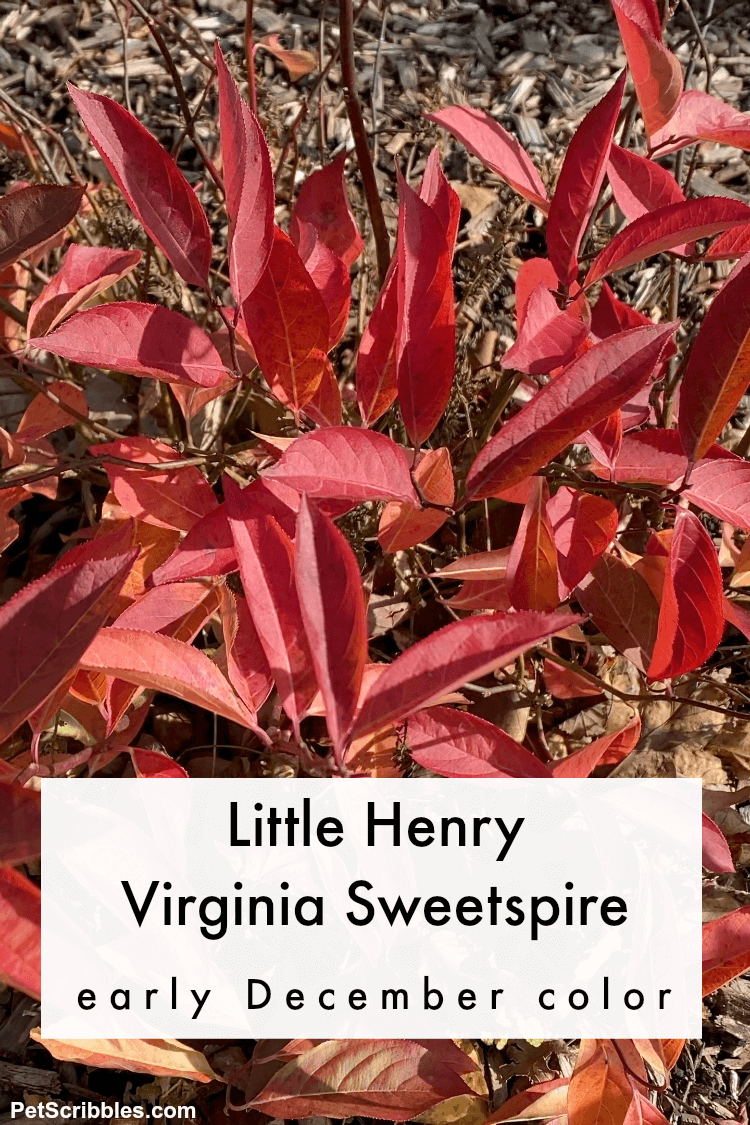 Little Henry Virginia Sweetspire red leaves