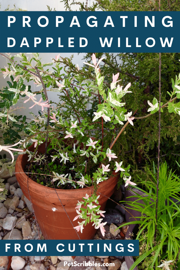 Learn how to add more Dappled Willow shrubs to your landscape by propagating Dappled Willow cuttings from your original plant. Easy to do! (Plus you save money by not purchasing more shrubs!) via @petscribbles