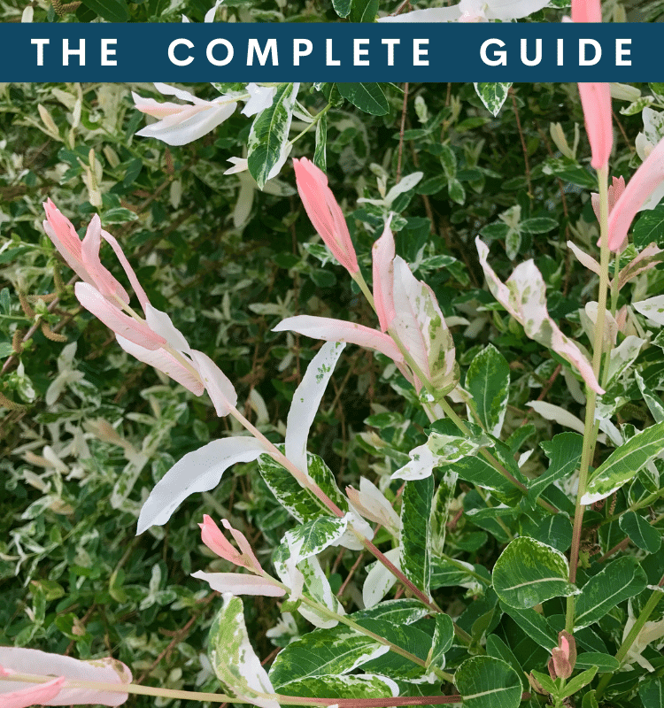 Dappled Willow - The Complete Guide