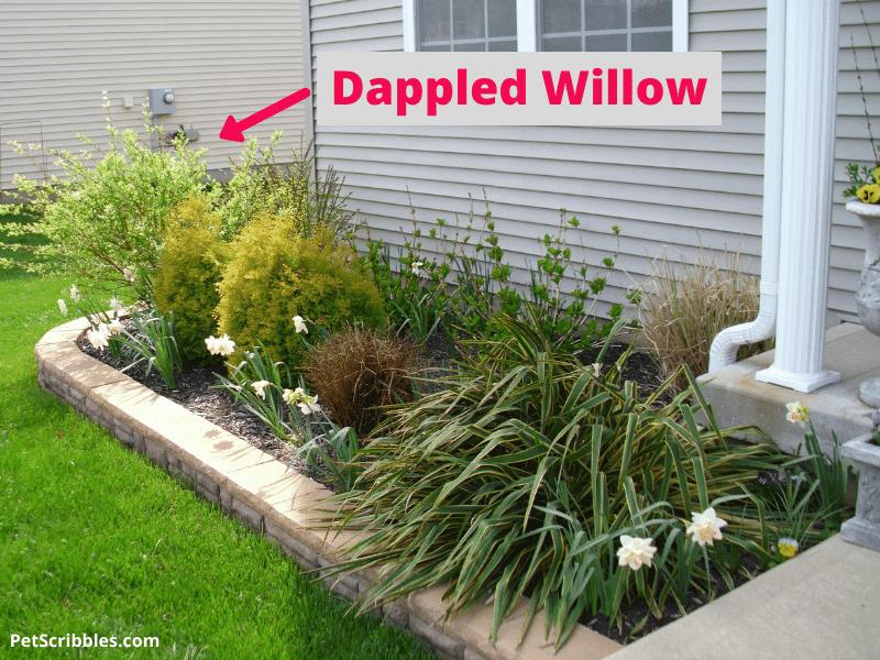 dappled willow in front yard garden