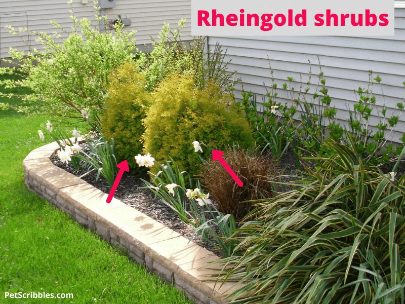 two rheingold shrubs in front yard garden