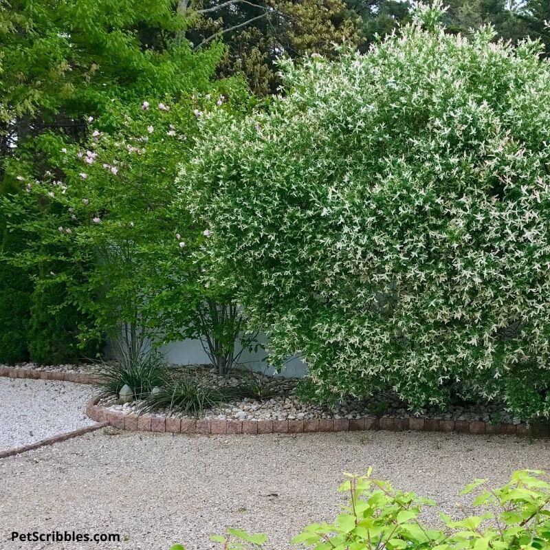 backyard shrubs