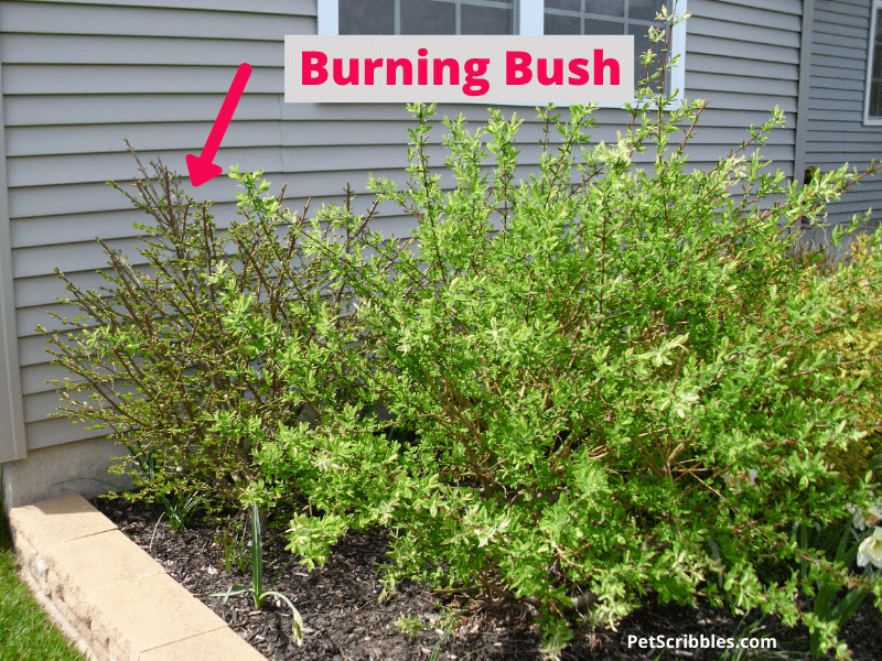 burning bush in early Spring