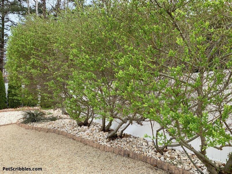 dappled willow pruning