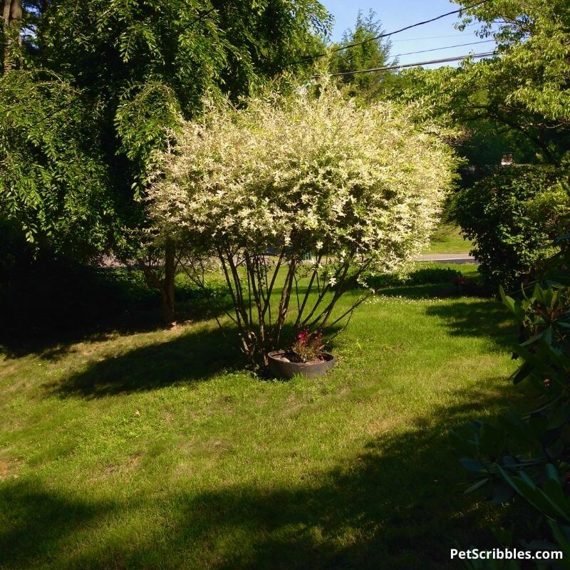 dappled willow tree form