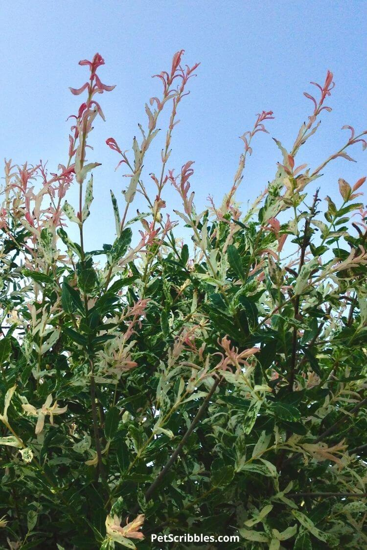 pink dappled willow leaves with blue sky background