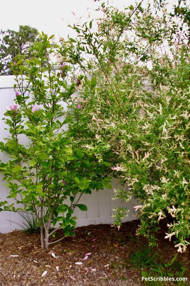 shrubs planted too close together