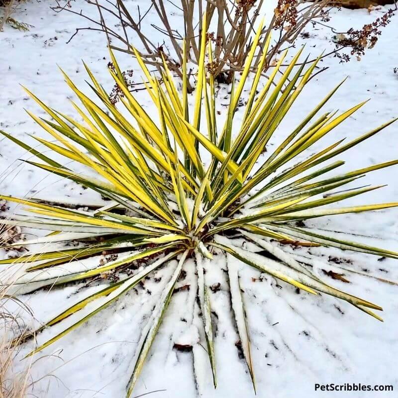 Color Guard Yucca in Winter