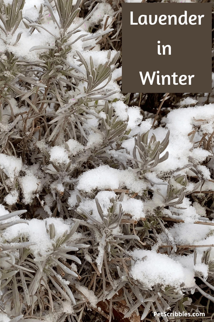evergreen lavender in Winter with snow