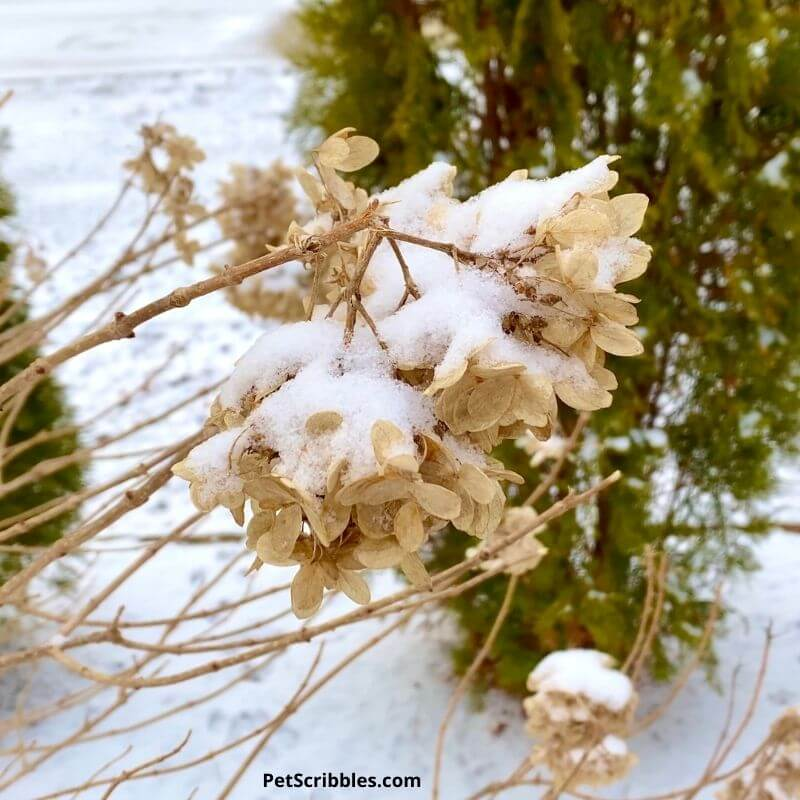 dried hydrangea flower covered with snow
