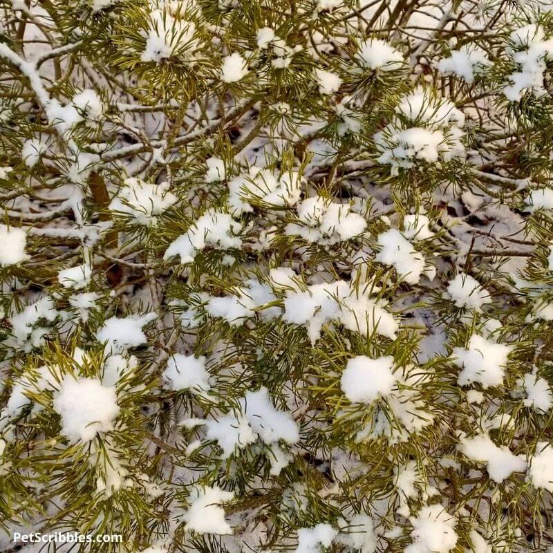 mugo pine with snow