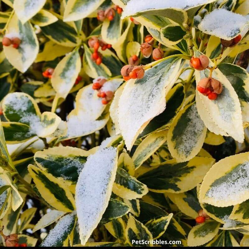 Silver King Euonymus in Winter