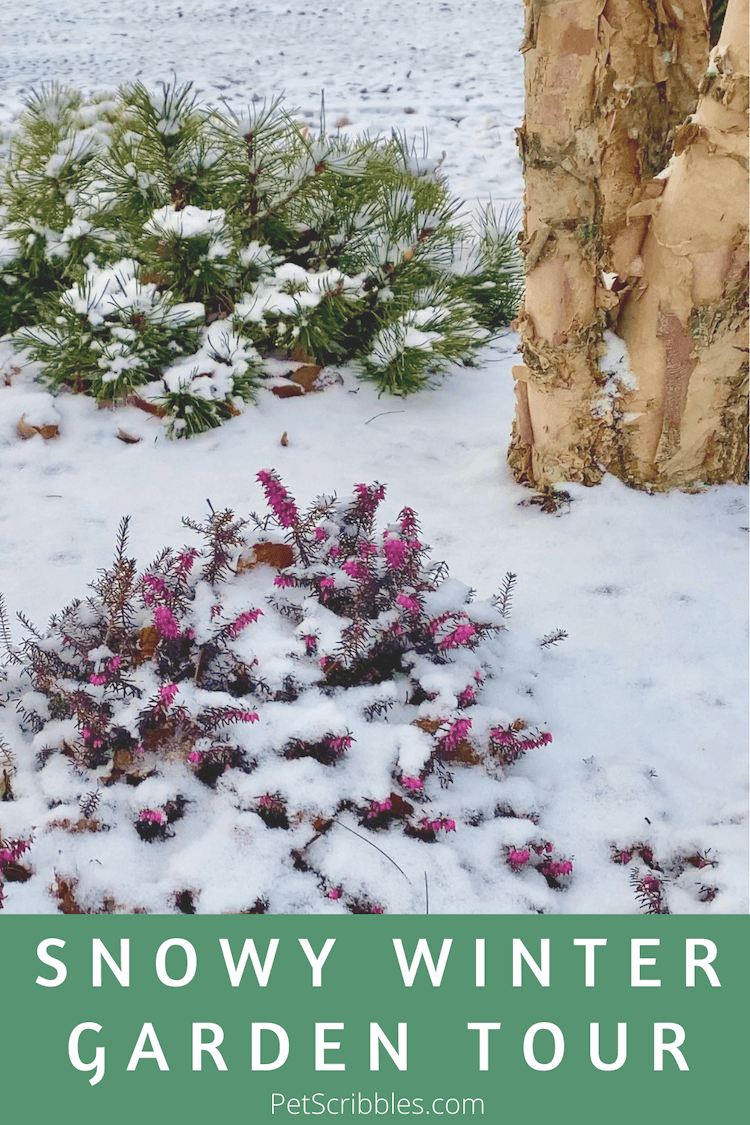 Enjoy this snowy Winter garden tour of our front yard garden beds, filled with evergreens, grasses and gorgeous Winter-blooming heath. There's also plenty of fox and rabbit tracks! via @petscribbles