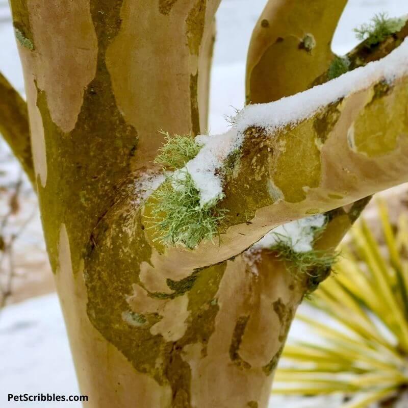 aqua lichen on tree in Winter