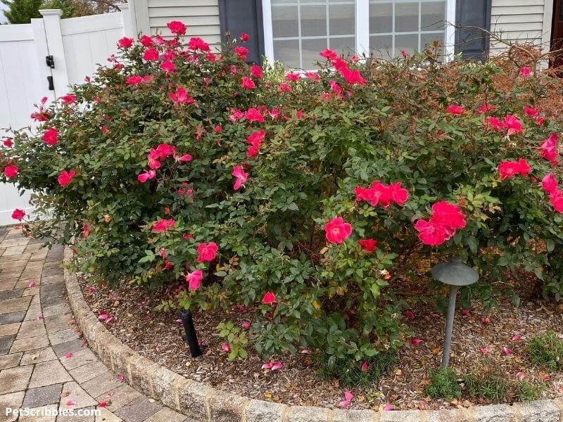 Knockout Roses blooming in Fall