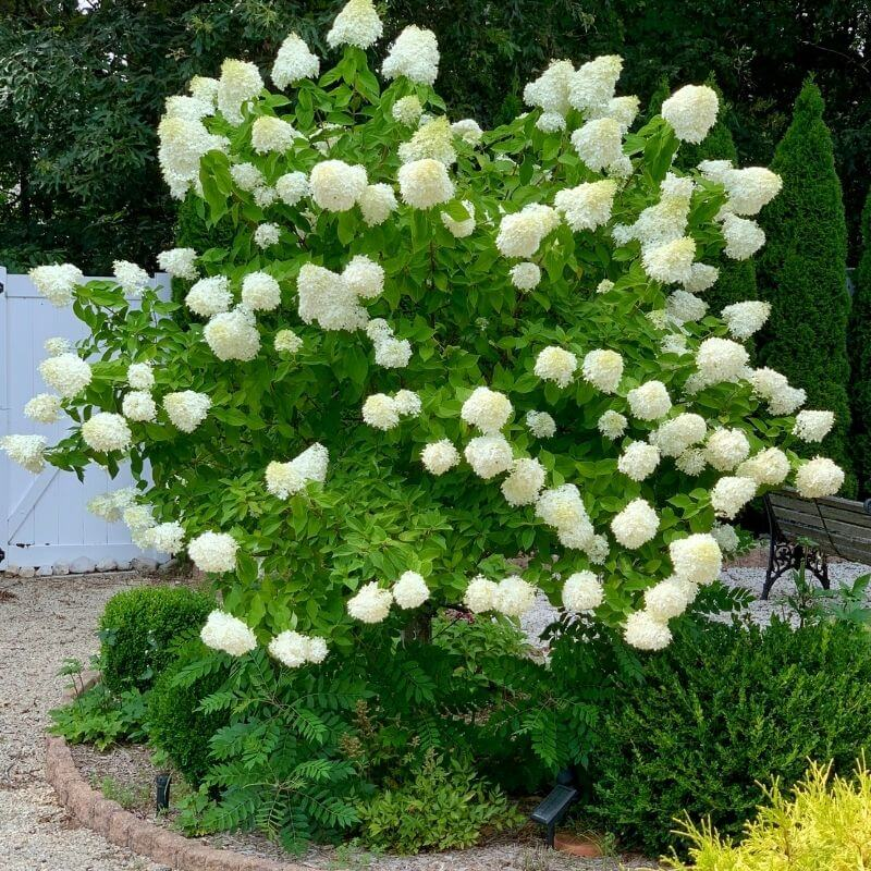 tree from of Limelight Hydrangea Paniculata