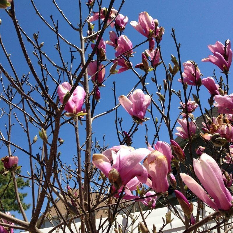 magnolia jane blossoms on tree