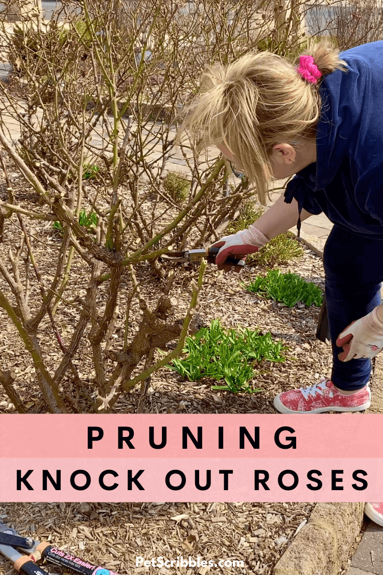 "Pruning Knockout Roses is easy with these tips, including when, what and how to prune them, plus ""before and after"" examples. Includes video. via @petscribbles"