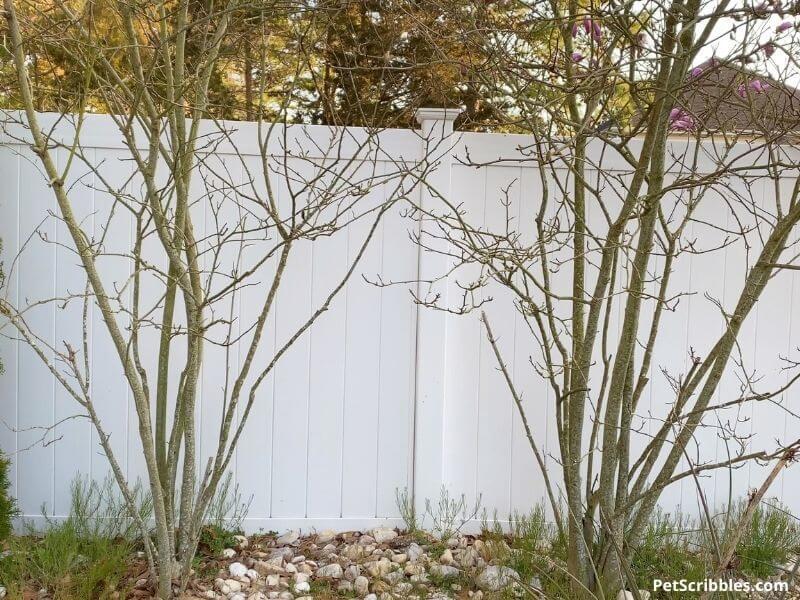 dead Magnolia Jane trees
