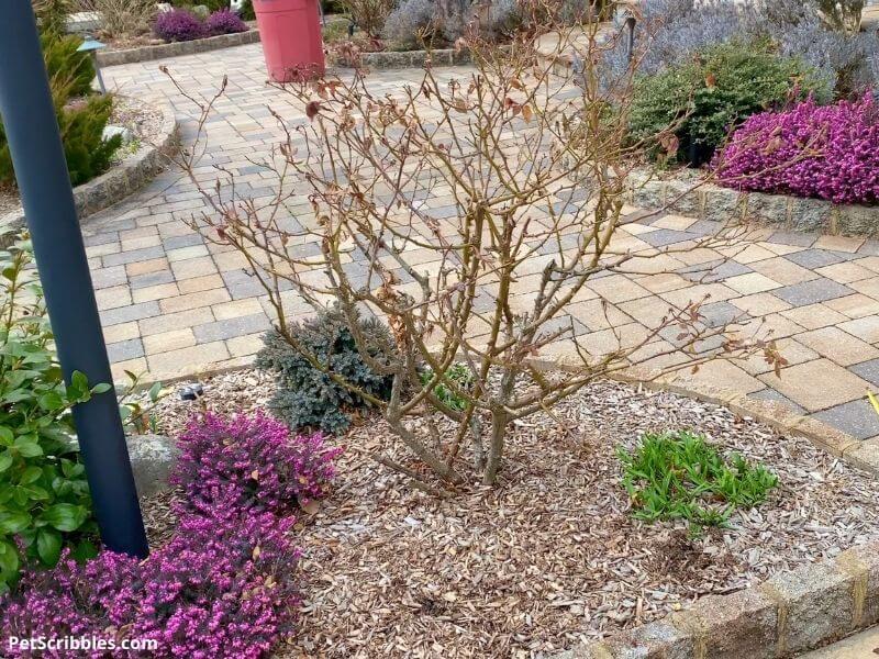 lamp post rose bush before pruning