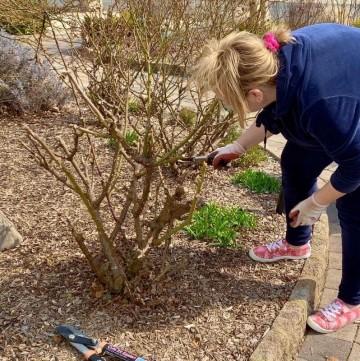pruning a knockout rose bush