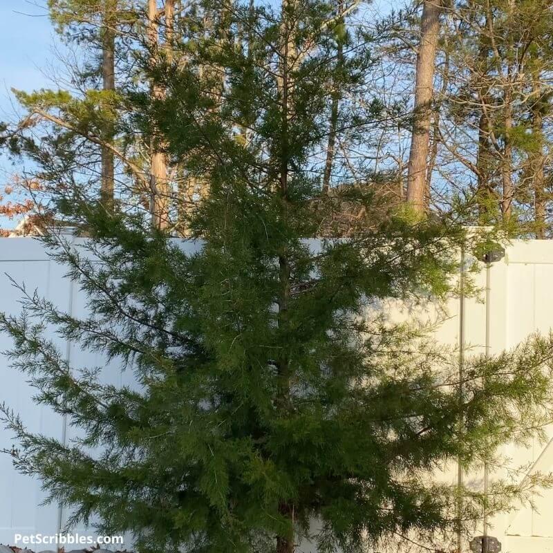 wild cypress tree growing near a fence