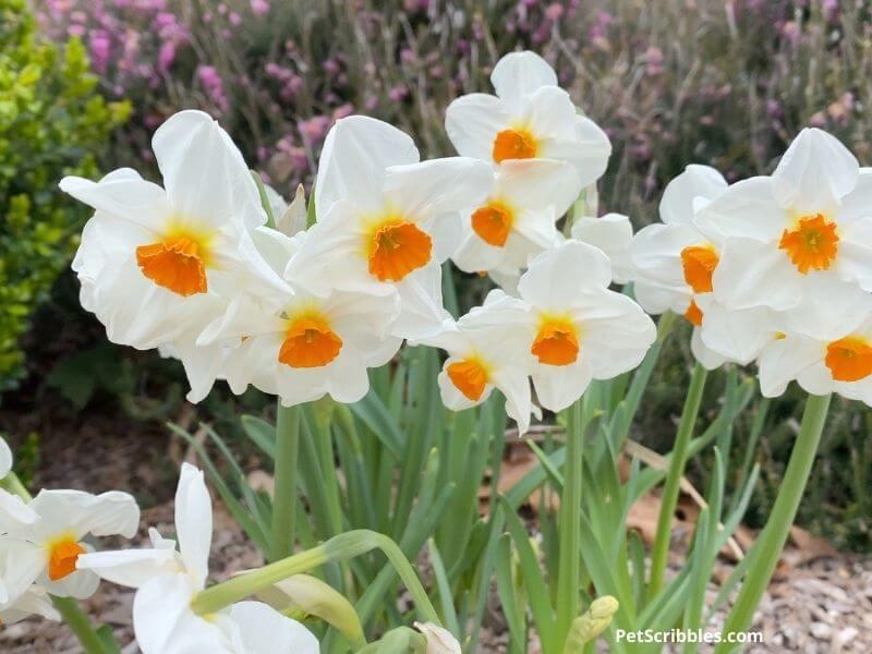 Cragford daffodils