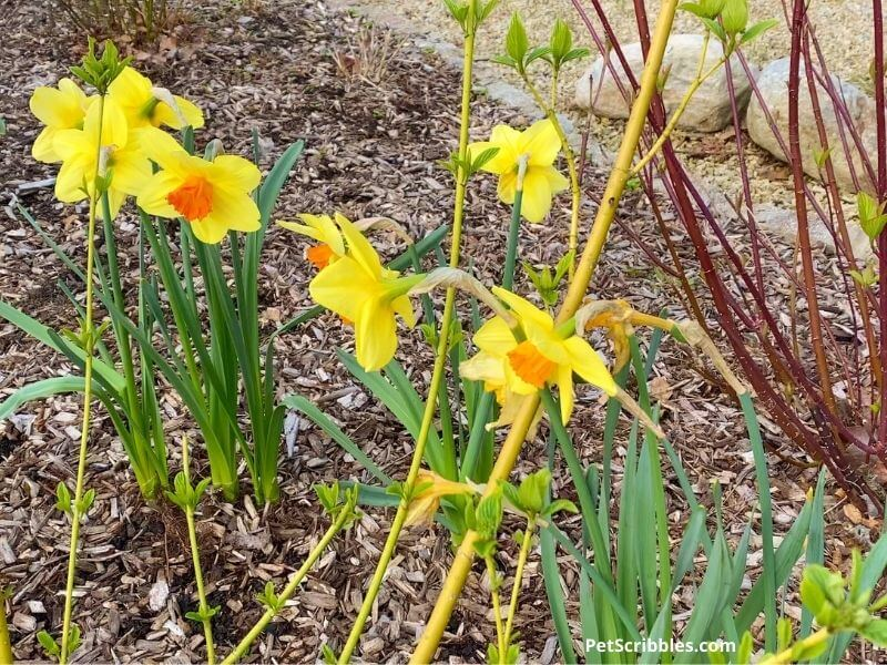 Red Devon daffodils with red and yellow twig dogwoods