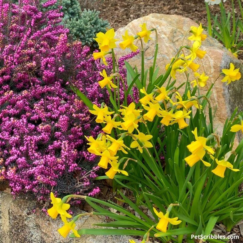 Tete-a-Tete Daffodils and Kramers Red Winter Heath