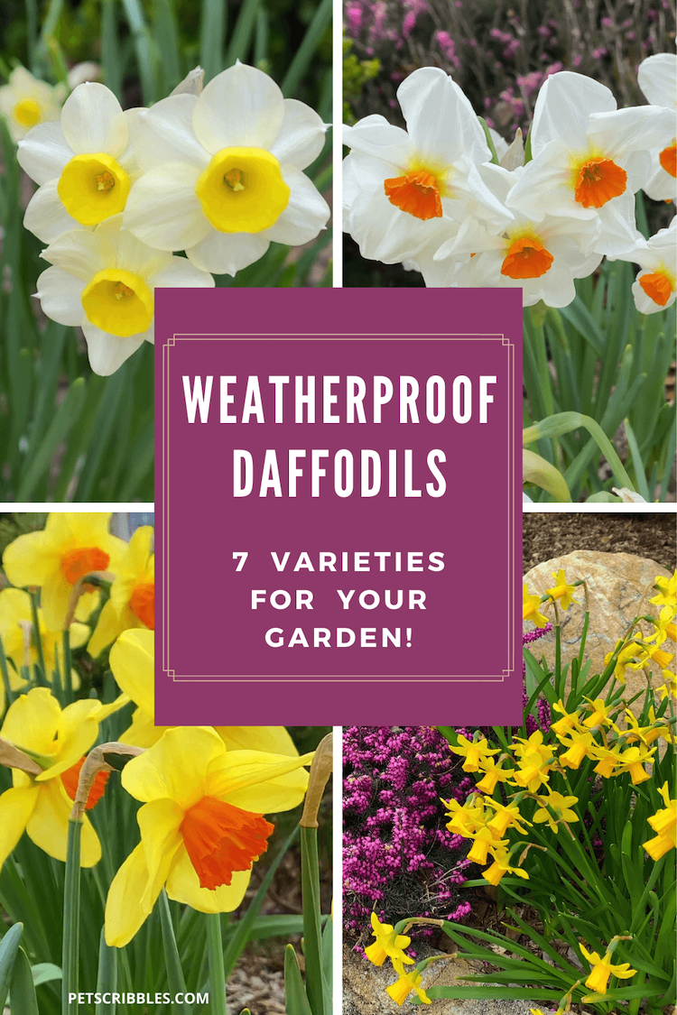 Here are 7 weatherproof daffodils grown in my garden. These pretty daffodil varieties survive Spring storms perfectly! Featuring tall and miniature, plus early, mid and late season bloomers. All naturalize wonderfully over time. Includes video. via @petscribbles