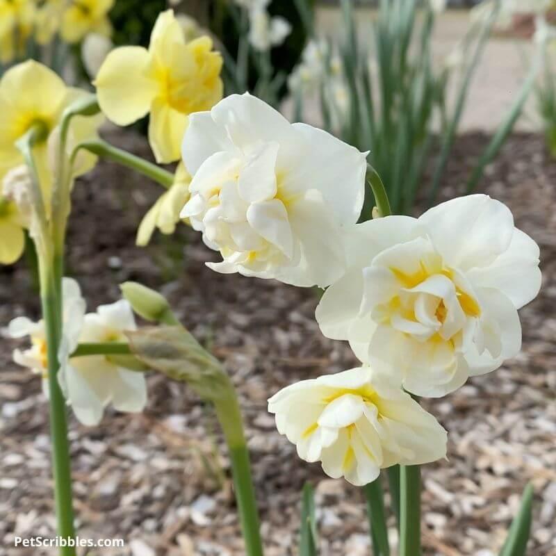 White Cheerfulness ruffled daffodils