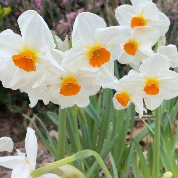 weatherproof daffodils standing tall