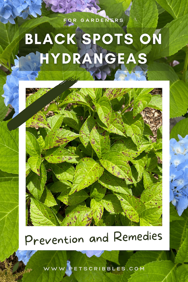 Can't stand black spots on hydrangeas? Neither can I! I'm sharing the causes and solutions, plus why I ultimately decided to toss out my own mophead bigleaf hydrangeas! via @petscribbles