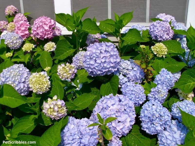 Endless Summer Hydrangeas in bloom
