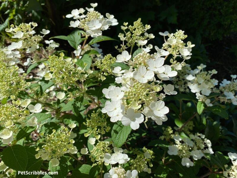 Little Quick Fire Hydrangea flowers