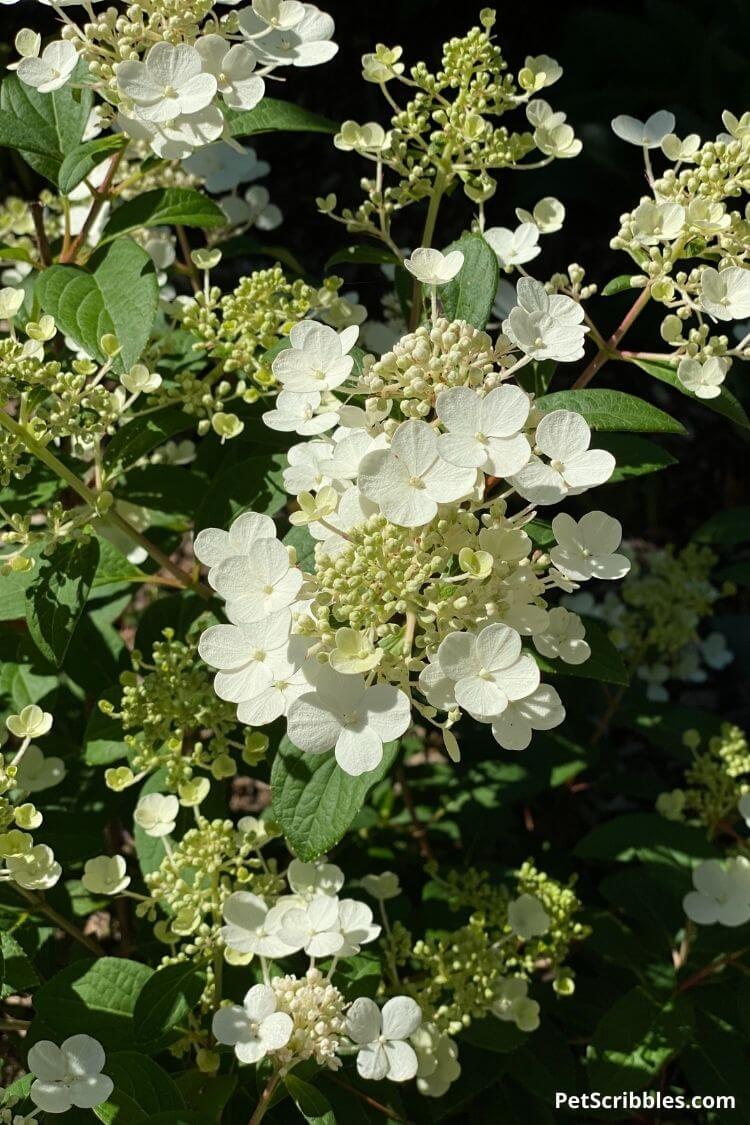 Little Quick Fire hydrangea white flowers