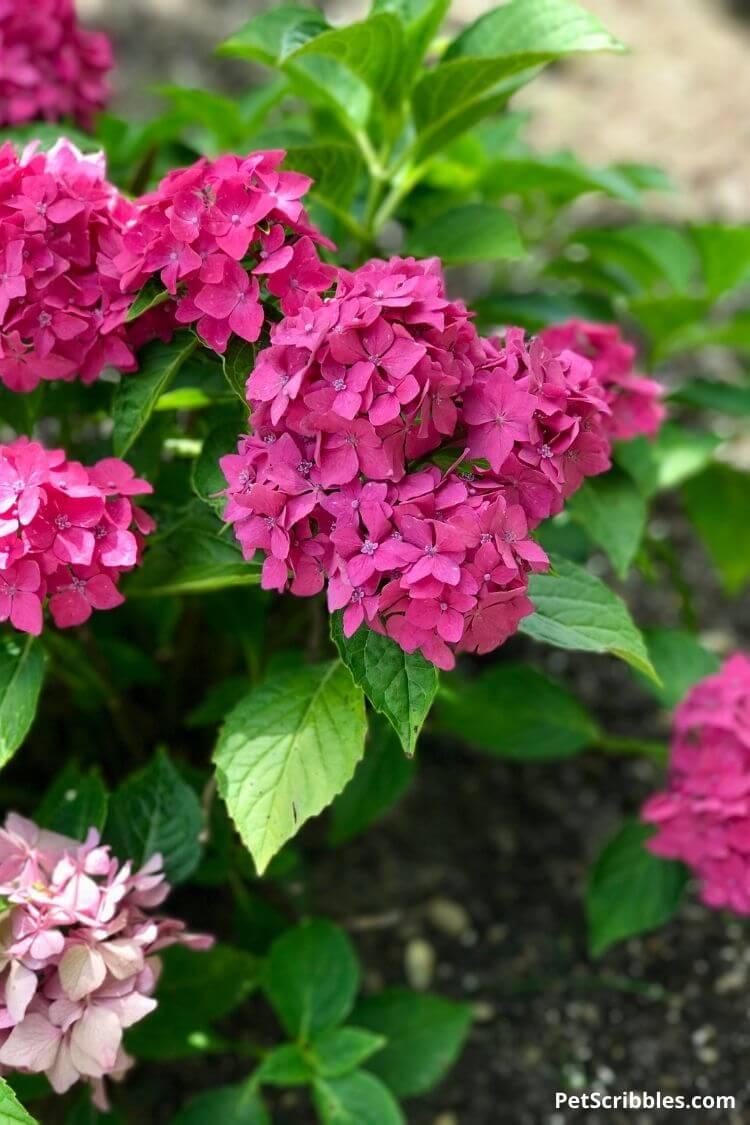 Pia dwarf hydrangea flowers