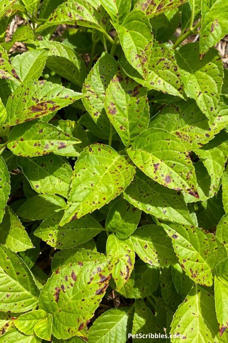 black spots on hydrangea leaves