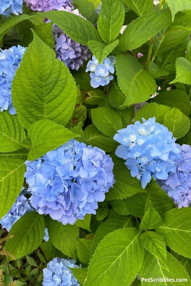 deep blue hydrangea flowers