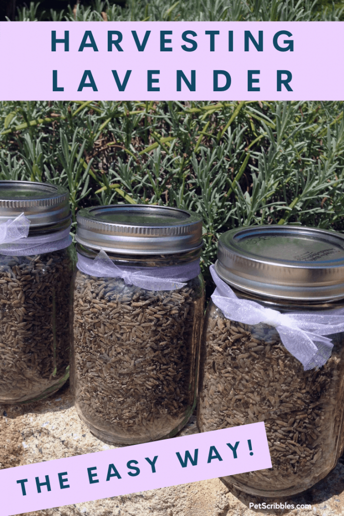 harvesting lavender the easy way