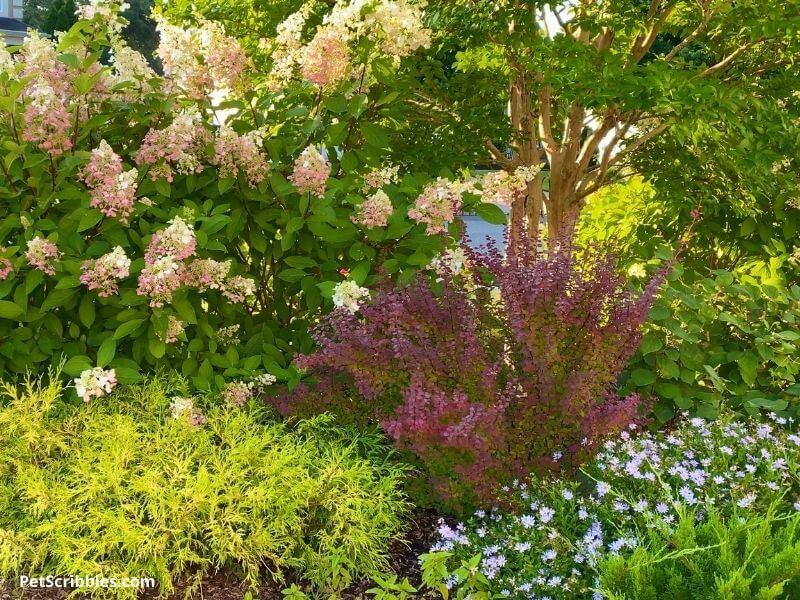 Pinky Winky Hydrangea Garden Bed