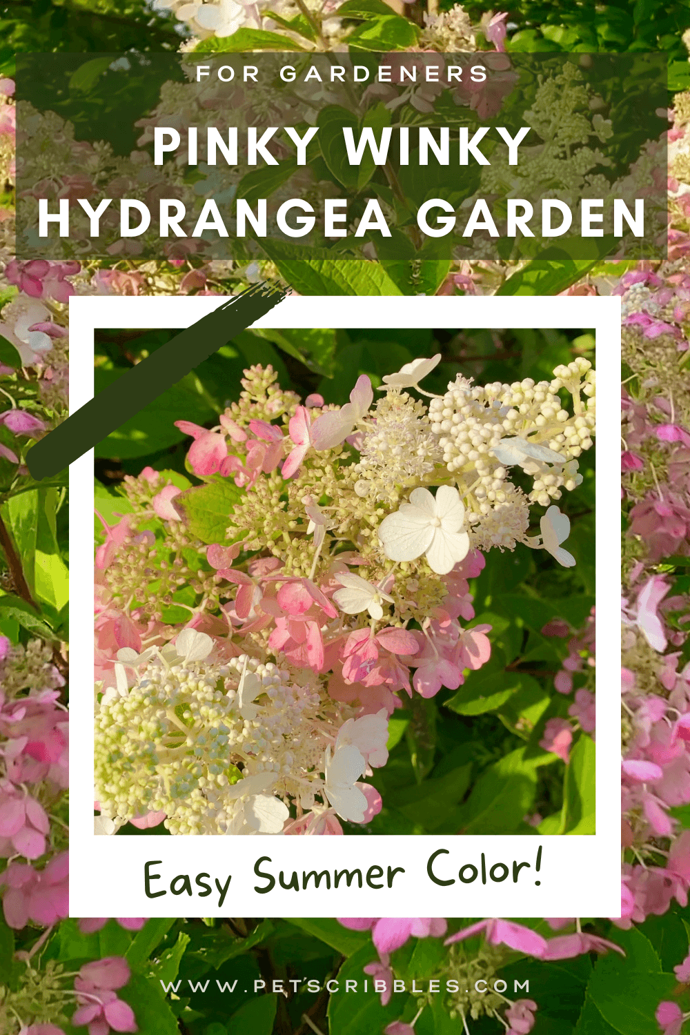 Enjoy this detailed Summer garden tour of my Pinky Winky Hydrangea Garden. In addition to the Pinky Winky Hydrangeas, this garden features a Muskogee Crepe Myrtle, Fothergilla, evergreens and flowering perennials like Geranium Rozanne, Geum and Roses. Includes video! via @petscribbles