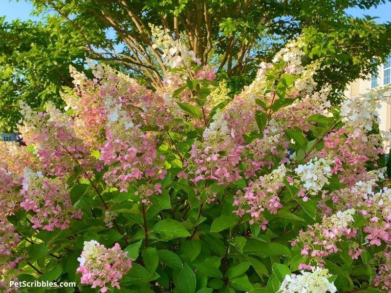 Pinky Winky Hydrangeas in Summer