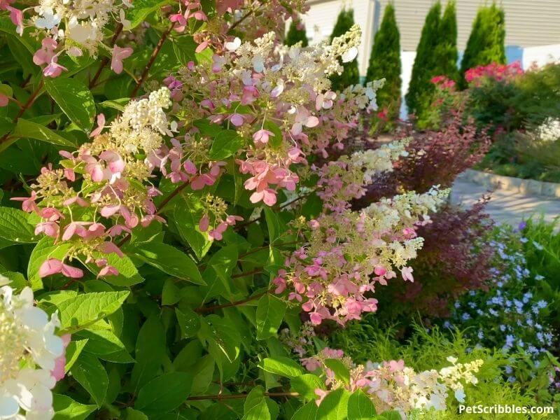 Pinky Winky Hydrangeas in front yard