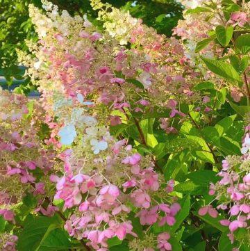 Pinky Winky Summer Garden
